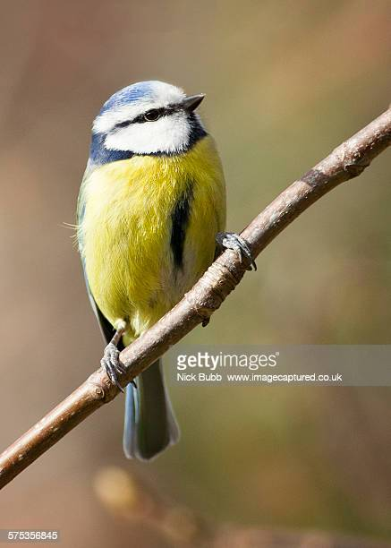 eurasian blue tit - bluetit stock photos and pictures
