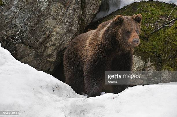 Eurasian brown bear in the snow in early spring emerging from den among rocks in woodland, Bavarian Forest National Park, Germany.