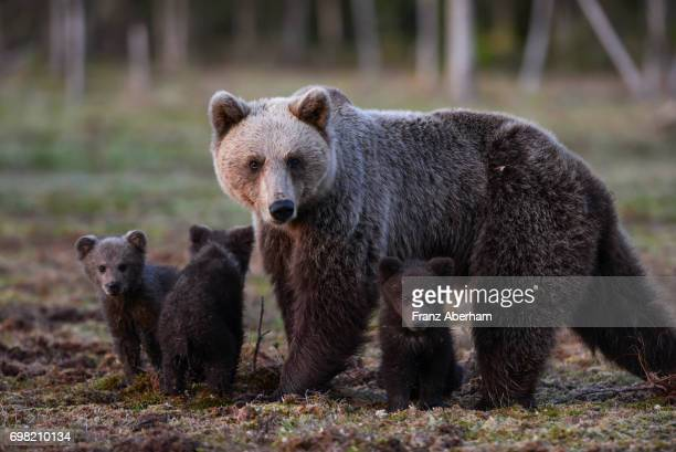 Eurasian brown bear (Ursus arctos arctos), mother bear with cubs turned up as late as 02:00 in the morning, Midnight sun time, Finland
