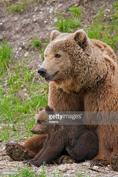 Eurasian brown bear mother with cub