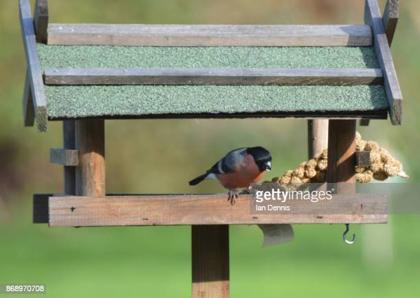 Eurasian bullfinch feeding in birdhouse