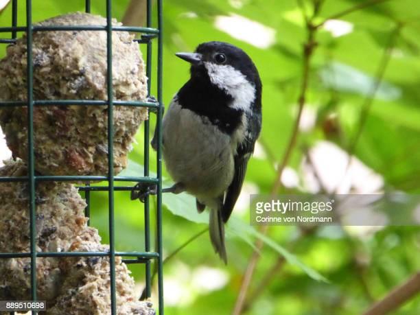 Eurasian Coal Tit at Bird Feeder - Parus ater