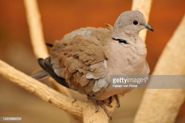 Eurasian Collared Dove (Streptopelia decaocto), in the Al Ain Zoo, Al Ain, Abu Dhabi, United Arab Emirates, Arabia, the Orient, Middle East