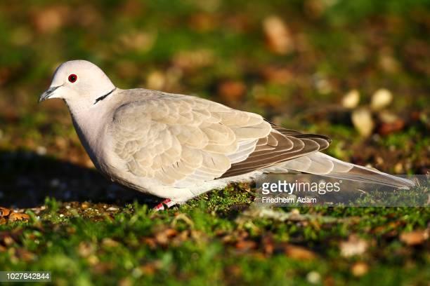 Eurasian Collared Dove (Streptopelia decaocto), National Park Monfrague, Exdremadura, Spain