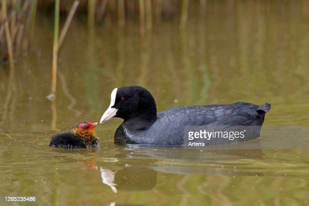 Eurasian coot / common coot feeding chick while swimming in pond in spring.