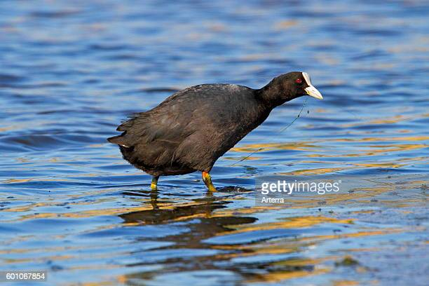 Eurasian coot foraging in shallow water of lake