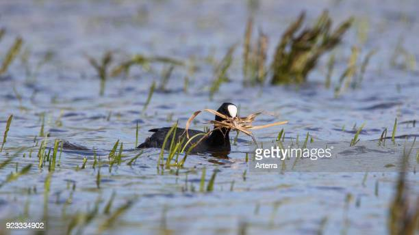 Eurasian coot in wetland collecting nesting material like grass blades for nest building in the breeding season