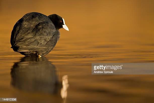 Eurasian Coot  on water, UK