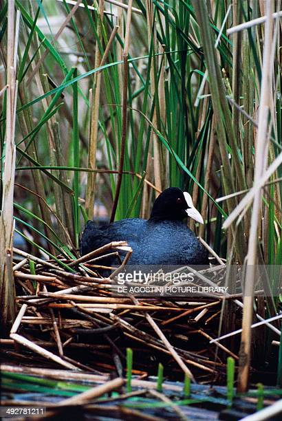 Eurasian coot or Coot on nest Rallidae