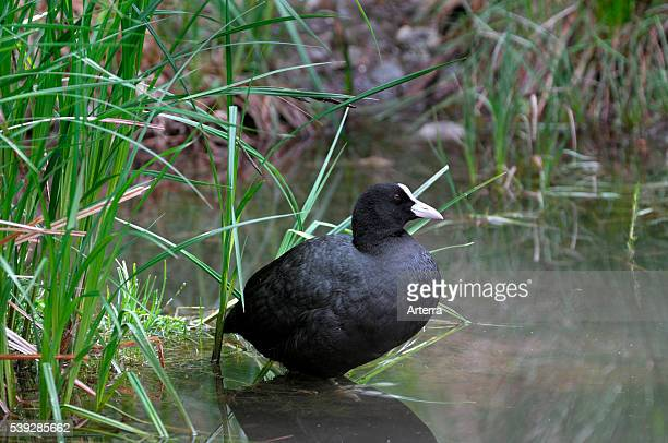 Eurasian coot resting in shallow water along shore of pond