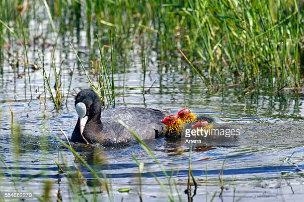 Eurasian coot swimming with chicks in lake
