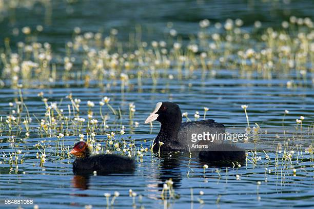 Eurasian Coot swimming with chicks on pond Germany