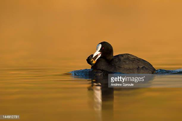 Eurasian Coot (Fulica atra) swimming with mussel
