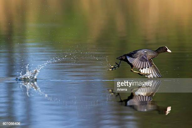 Eurasian Coot taking off from lake by running over water and flapping wings