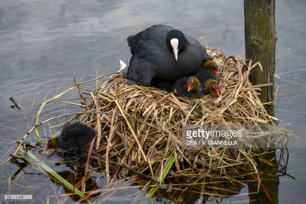 Eurasian Coot with chicks at nest Rallidae Ecomuseum Adda di Leonardo Lombardy Italy