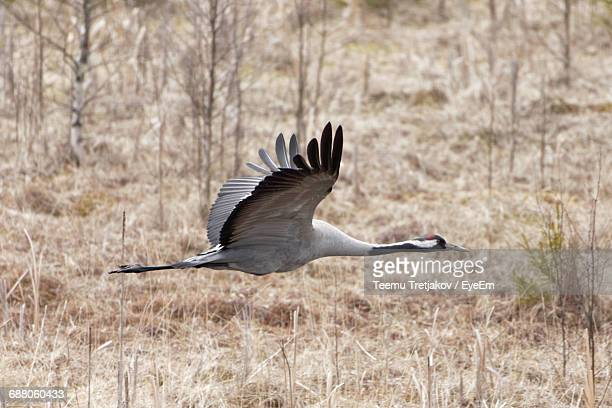 eurasian crane flying over field - teemu tretjakov stock pictures, royalty-free photos & images