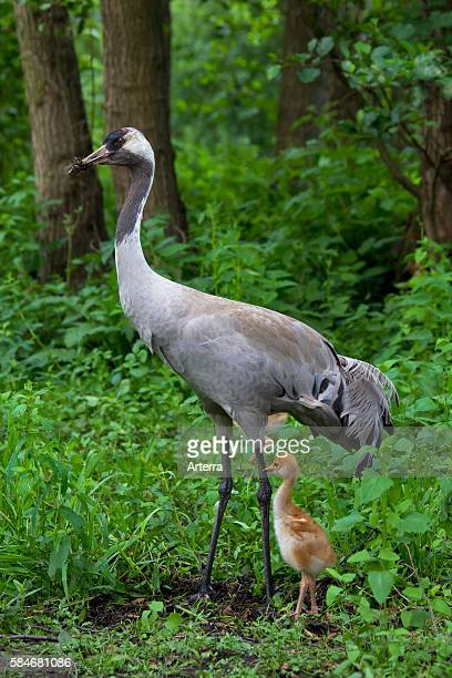 Eurasian Crane with 10 days old chick in marsland Germany