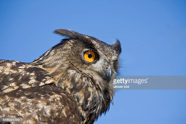 Eurasian Eagle Owl , Bubo bubo, Germany, Bavaria