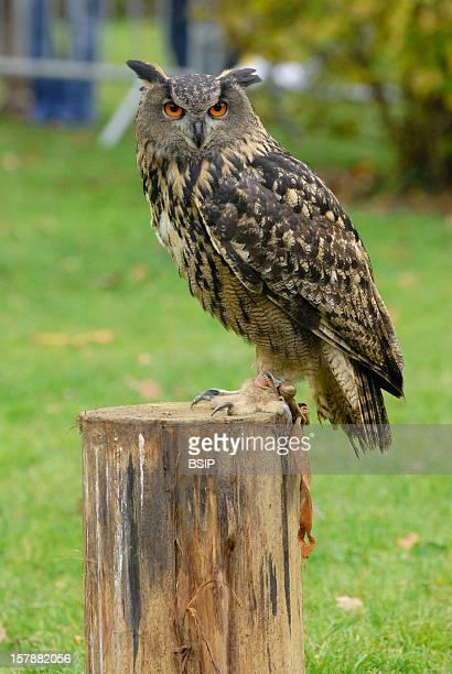 Eurasian Eagle Owl Eurasian Eagle Owl Bubo Bubo Eurasian Eagle Owl Eagle Owl Owl Strigid Nocturnal Raptor Raptor Bird