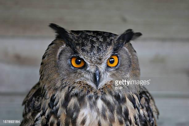 Eurasian Eagle Owl Eurasian Eagle Owl In Captivity, Picture Taken In Picardy, France.Bubo Bubo , Eurasian Eagle Owl , Eagle Owl , Owl , Strigid ,...