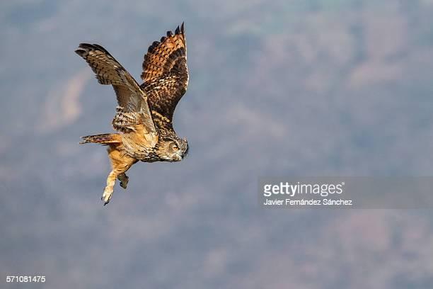 Eurasian Eagle owl flying. Bubo bubo