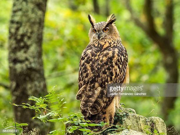eurasian eagle owl in the forest - hibou grand duc photos et images de collection