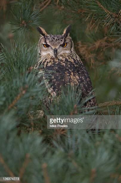 eurasian eagle owl (bubo bubo) in tree, uk - eurasian eagle owl stock pictures, royalty-free photos & images