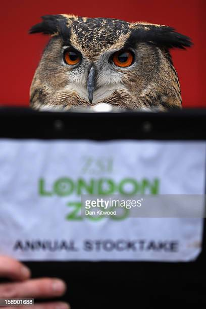 Eurasian Eagle Owl is posed up in front of a clipboard during London Zoo's annual stocktake of animals on January 3 2013 in London England The zoo's...