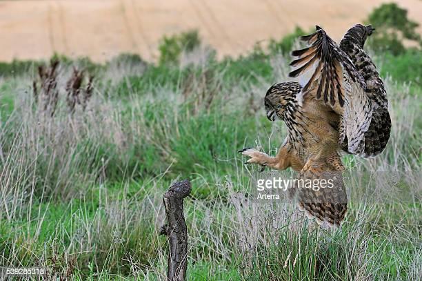 Eurasian Eagle owl landing on perch with wings spread in meadow.