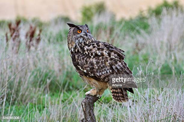Eurasian Eagle owl perched on fence pole in meadow