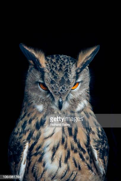 eurasian eagle owl - image stock pictures, royalty-free photos & images