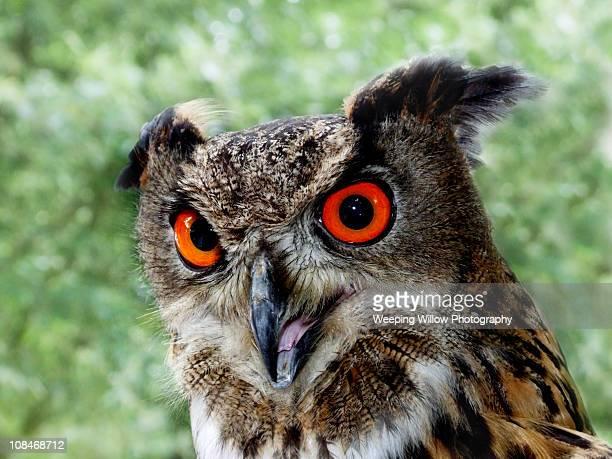 eurasian eagle owl - gufo reale foto e immagini stock