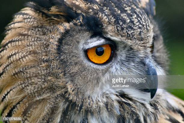 eurasian eagle owl (bubo bubo) - animal head stock pictures, royalty-free photos & images