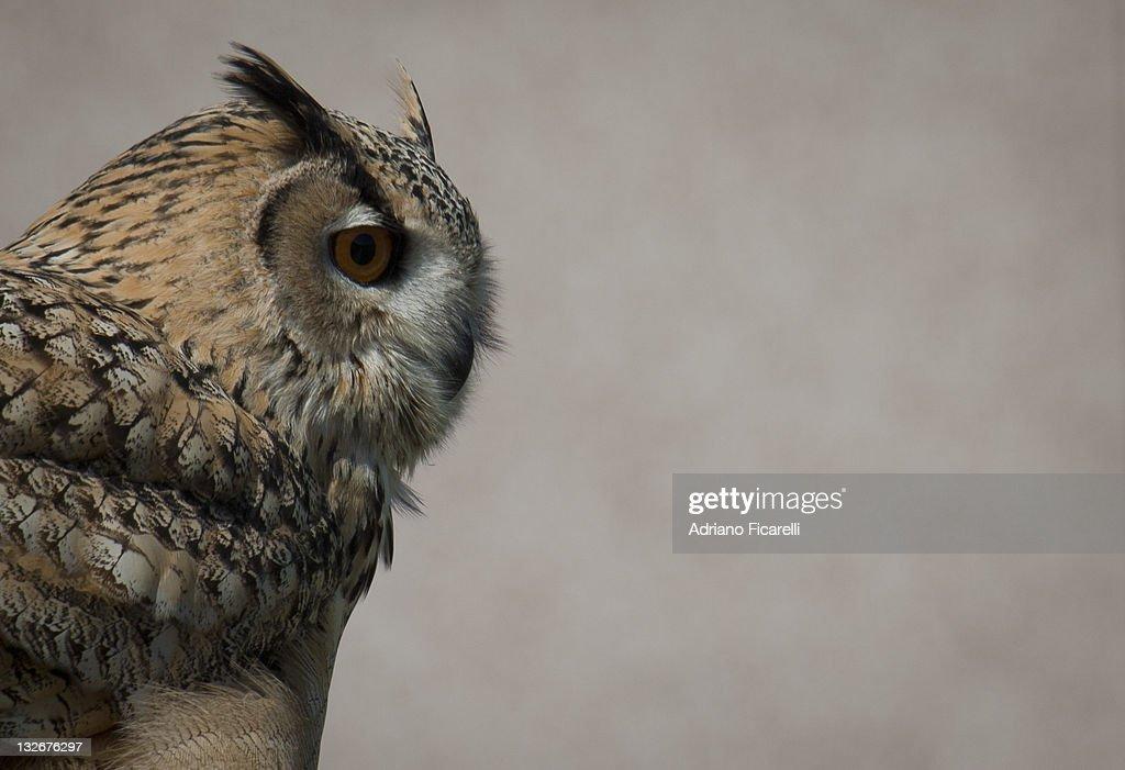 Eurasian Eagle owl : Foto stock