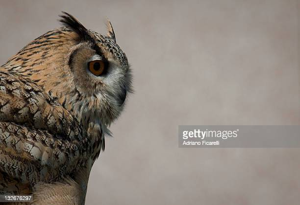 eurasian eagle owl - adriano ficarelli stock pictures, royalty-free photos & images