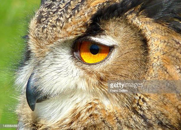 eurasian eagle owl - frans sellies stockfoto's en -beelden