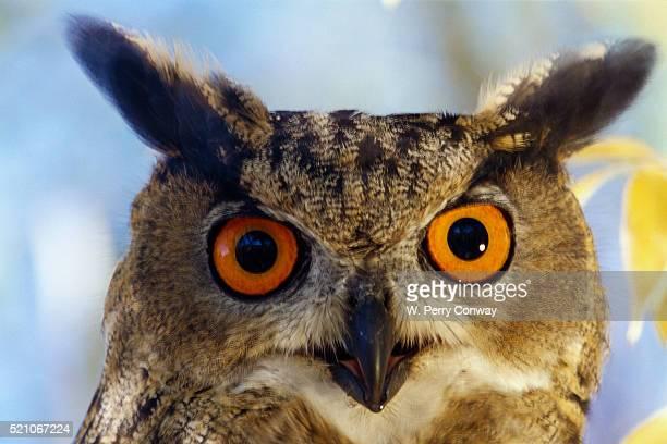eurasian eagle owl - eurasian eagle owl stock pictures, royalty-free photos & images