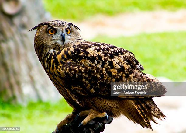 eurasian eagle owl - joemill flordelis stock pictures, royalty-free photos & images