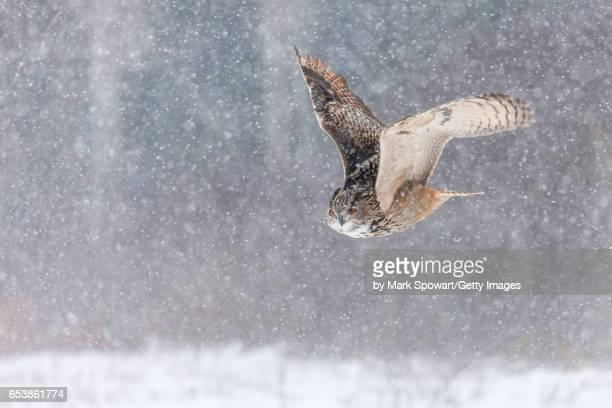 eurasian eagle owl (bubo bubo) - hibou grand duc photos et images de collection