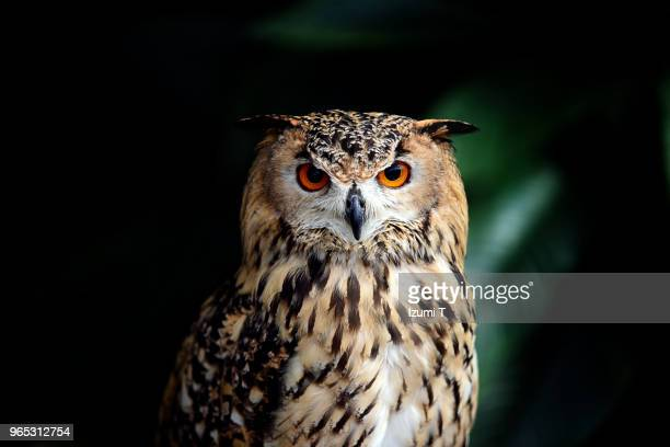 eurasian eagle owl - owl stock pictures, royalty-free photos & images