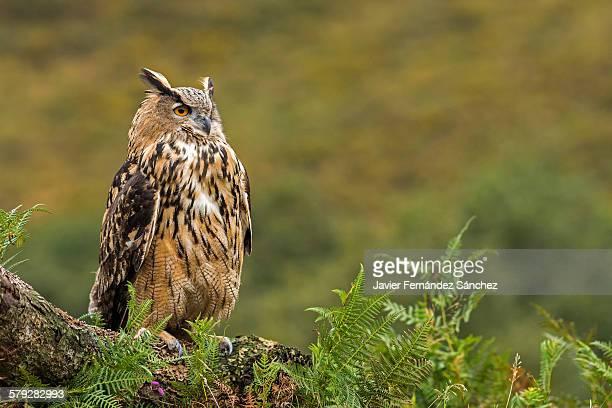 Eurasian eagle owl upright on a log