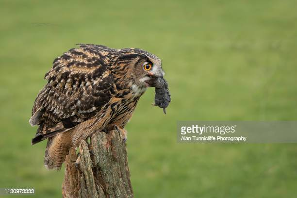 eurasian eagle owl with prey - gufo reale foto e immagini stock