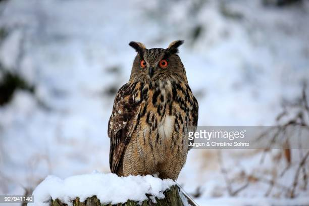 eurasian eagle-owl (bubo bubo), adult on tree stump in winter, in snow, watchful, zdarske vrchy, bohemian-moravian highlands, czech republic - hibou grand duc photos et images de collection