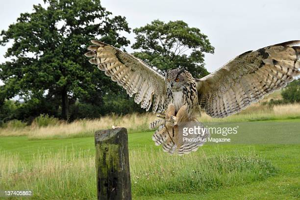 Eurasian Eagleowl at Gloucester Barn Owl Centre July 21 2009