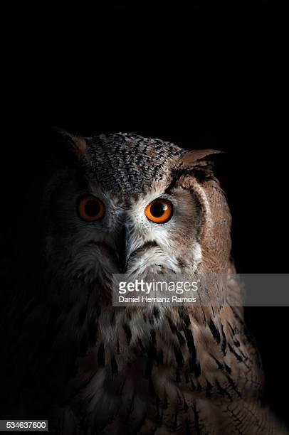 Eurasian eagle-owl. Bubo Bubo