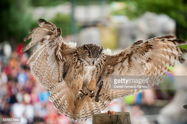 eurasian eagle-owl. bubo bubo - eurasian eagle owl stock pictures, royalty-free photos & images