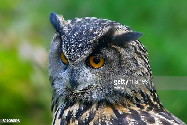 Eurasian eagleowl / European eagle owl close up portrait