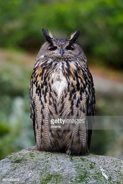 Eurasian eagleowl / European eagle owl portrait