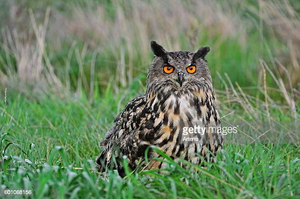 Eurasian eagleowl / European eagle owl sitting in the grass in meadow