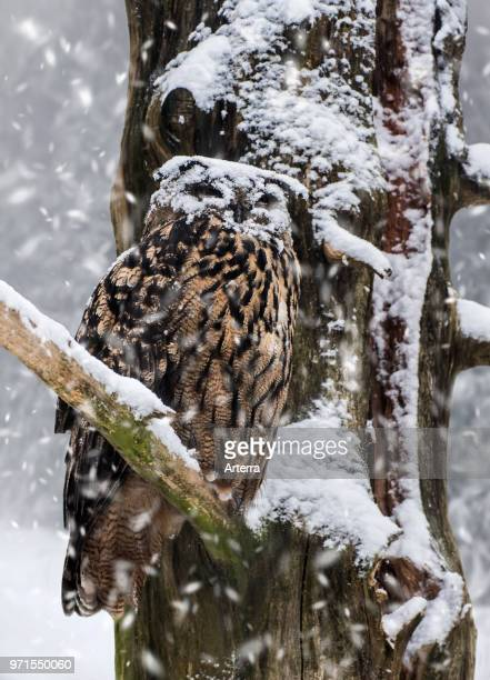 Eurasian eagle-owl / European eagle owl with face covered in snow perched in tree during snow shower in winter.